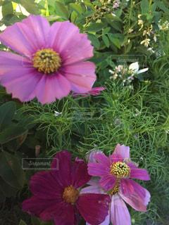 花,ピンク,コスモス,カラフル,鮮やか,草木