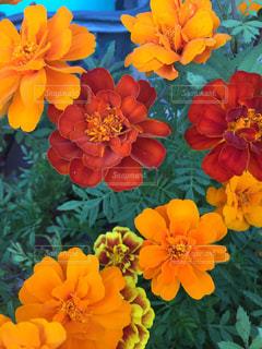オレンジ色の花一杯の写真・画像素材[1544072]