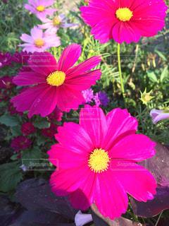 赤と黄色の花の写真・画像素材[1556752]