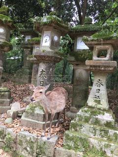 動物,屋外,樹木,石,奈良,メス,哺乳類,春日大社