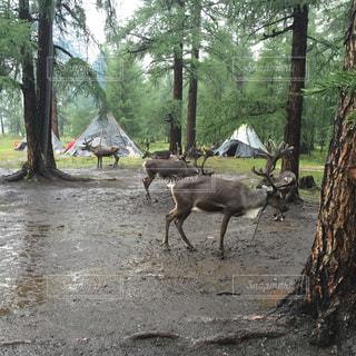 動物,森林,屋外,樹木,モンゴル,テント,トナカイ