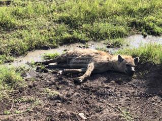 動物,屋外,景色,地面,サファリ,ケニア,汚れ,泥,ハイエナ,泥浴び