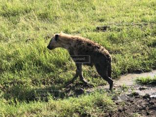 動物,屋外,緑,草原,景色,草,海外旅行,サファリ,ケニア,泥,ハイエナ,泥浴び