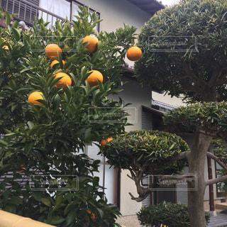 屋外,オレンジ,樹木,風水,ガーデン,食べ頃,なりもの
