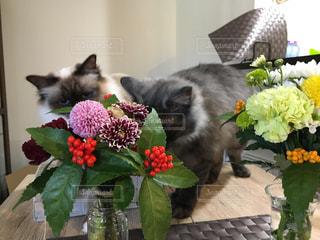 猫,花,動物,屋内,2匹,ペット,人物,キティ,ネコ,バーマン