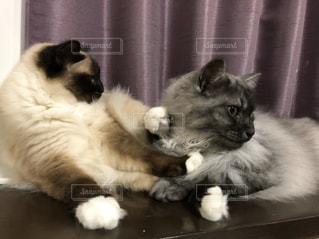 猫,動物,2匹,ペット,人物,耳,ネコ,押し合い,白タビ