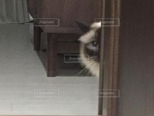 猫,動物,ペット,人物,見つめる,覗く,こっそり,ネコ