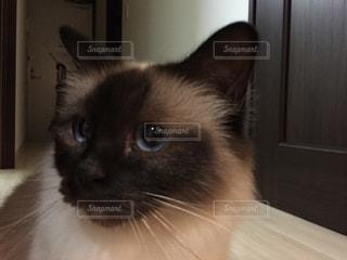 猫,動物,かわいい,青,ペット,子猫,人物,ポーズ,目,耳,ネコ