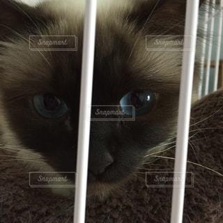 猫,動物,青,ペット,子猫,人物,瞳,見つめる,ネコ,バーマン