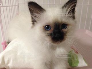 猫,動物,屋内,ペット,子猫,人物,目,キティ,ネコ,バーマン