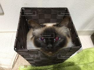 猫,動物,ペット,バスケット,子猫,人物,ゴミ箱,ネコ,バーマン