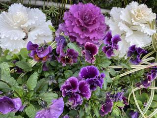 紫色の花のクローズアップの写真・画像素材[3030553]