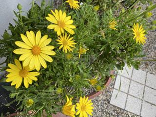 黄色い花の写真・画像素材[3033765]