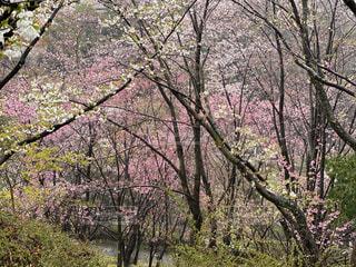 花,春,屋外,景色,樹木,桜の花,さくら,ブルーム,ブロッサム