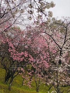 花,春,屋外,ピンク,樹木,桜の花,さくら,ブルーム,ブロッサム