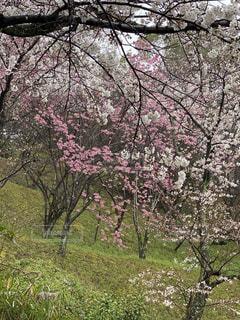 花,春,屋外,樹木,桜の花,さくら,ブルーム,ブロッサム