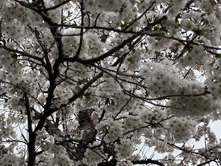 花,春,樹木,桜の花,さくら,ブルーム