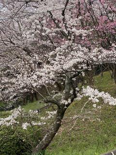 花,春,樹木,桜の花,さくら,ブルーム,ブロッサム