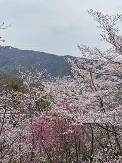 花,春,桜,木,花見,満開,お花見