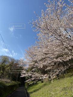 桜並木の写真・画像素材[3080935]