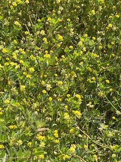 野原の黄色い花の写真・画像素材[3143492]