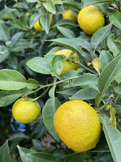 木の上に2つのオレンジの写真・画像素材[3150826]