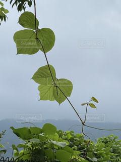 葛の葉の写真・画像素材[3359470]