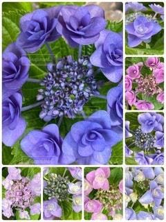 紫色の花のグループの写真・画像素材[3377960]