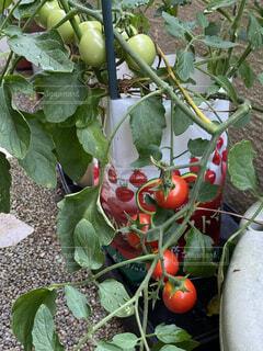食べ物,緑,トマト,野菜,ミニトマト,食品,玉,家庭菜園,収穫,食材,フレッシュ,ベジタブル