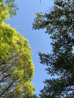 森の中の大きな木の写真・画像素材[4411528]