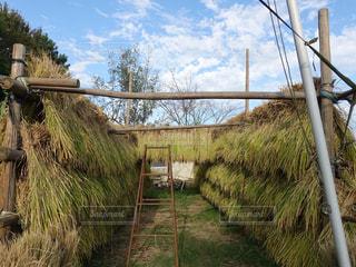 食べ物,屋外,田んぼ,米,収穫,秋空,稲刈り,食欲の秋
