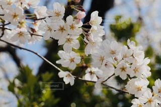 花,春,白,景色,草木,桜の花,さくら