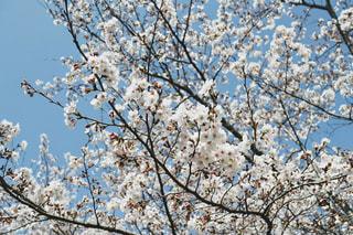 空,花,春,屋外,青空,枝,樹木,草木,桜の花,さくら,ブルーム,ブロッサム