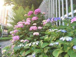 自然,花,街角,屋外,緑,植物,晴れ,夕方,景色,紫陽花,新宿,梅雨,6月,グラデーション,赤紫,日中