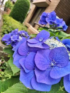 自然,街角,屋外,緑,植物,晴れ,紫,紫陽花,梅雨,6月,グラデーション,日中