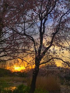自然,風景,空,公園,春,夕日,桜,屋外,夕暮れ,池,花見,樹木