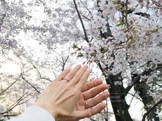 お花見散歩の写真・画像素材[2063161]