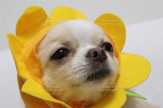 帽子をかぶった黄色い犬の写真・画像素材[1384966]