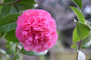 ピンク,お花,鮮やか,フォトジェニック