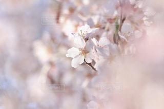 花,春,ピンク,景色,満開,枝垂れ桜,草木,桜の花,さくら,ブルーム,ブロッサム