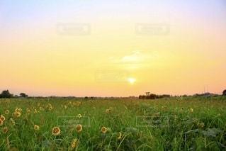 夕焼けのはヒマワリ畑の写真・画像素材[3500472]
