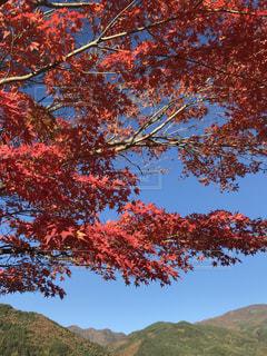 秋,紅葉,赤,もみじ,秋空,草木,富士河口湖