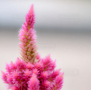 花,ピンク,マクロ,ミニマル
