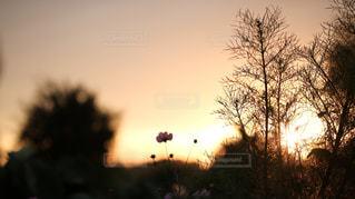 秋,朝焼け,朝,秋桜,神奈川,秋空