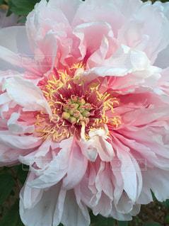 花,ピンク,牡丹,華やか,大輪