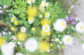 咲き始めのマーガレットの写真・画像素材[1371990]