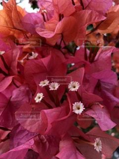 花,ピンク,赤,鮮やか,ハワイ,Hawaii,加工なし,pink,草木,オリジナル