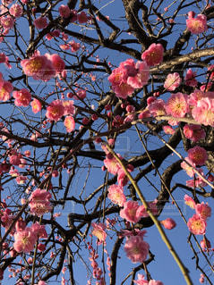 枝垂れ梅の写真・画像素材[1813415]