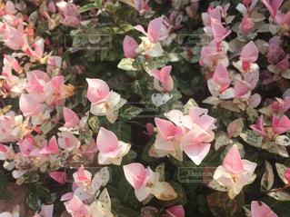 花,ピンク,植物,可愛い,儚い,群生,淡い,初恋,ハツユキカズラ