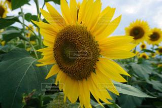 花,夏,ひまわり,黄色,鮮やか,山梨